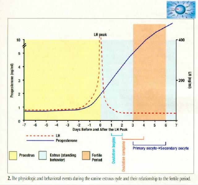progesterone levels after ovulation chart: Progesterone testing olde fashion bassets